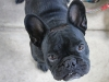 Henri the French Bull Dog
